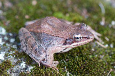 COMM_Woodfrog by John Hall.jpg