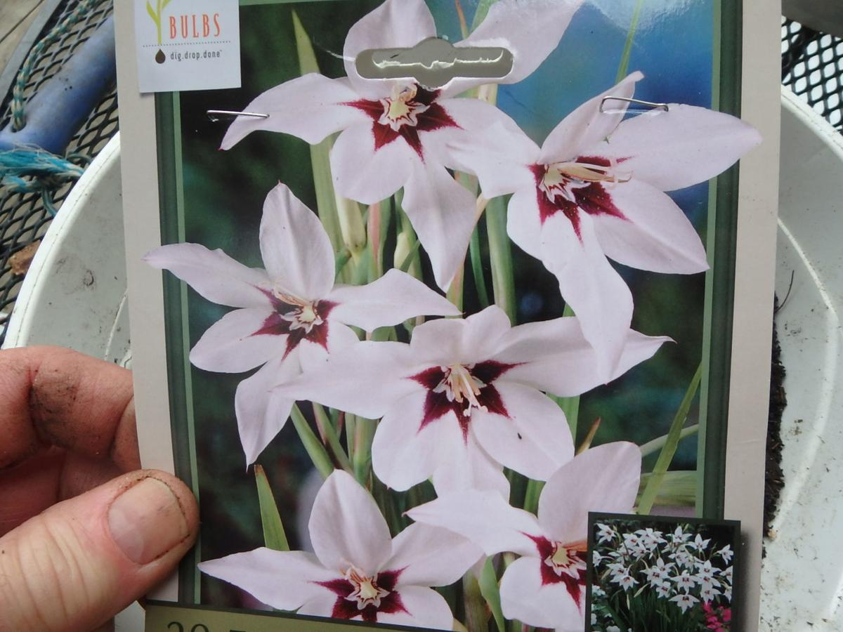 0404 Homeyer Sword lilies are easy to grow, and very fragrant..JPG