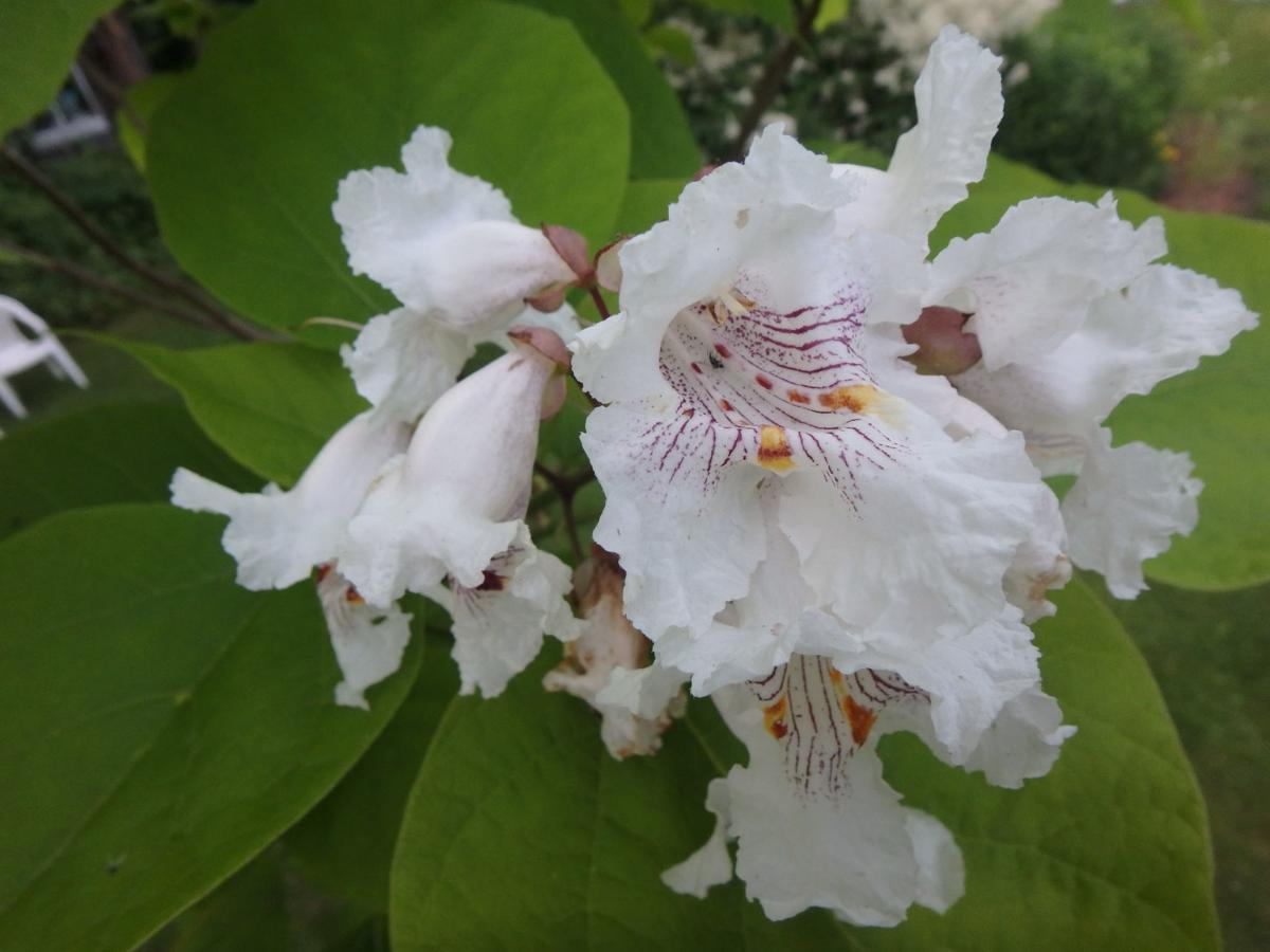 Catalpa blossoms.JPG