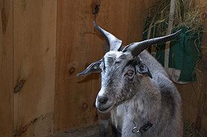 TAC_+FIVE_goat