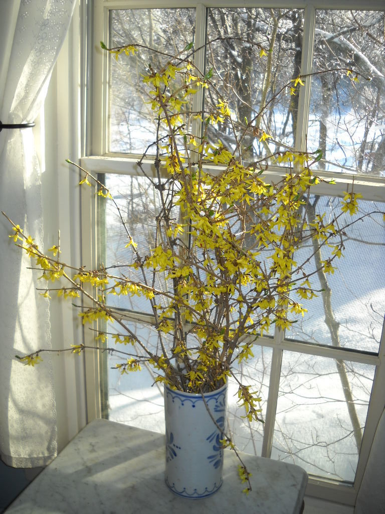 Forsythia forces easily indoors now009.jpg
