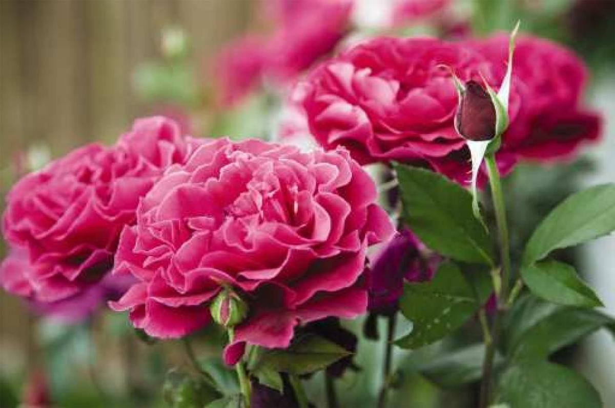 Knockout Roses Stand True To Their Name Local News