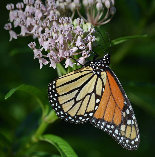 Butterfly Festival coming this weekend