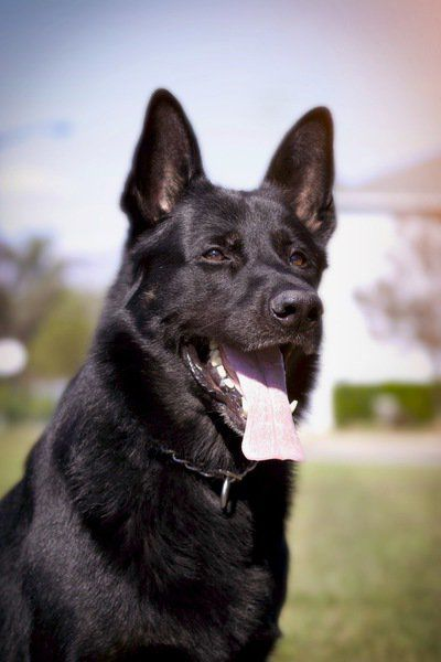 Retired police canine dies at 13