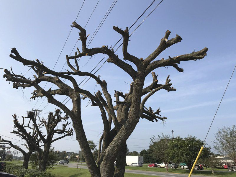 trees pruned for safety liability reasons local news