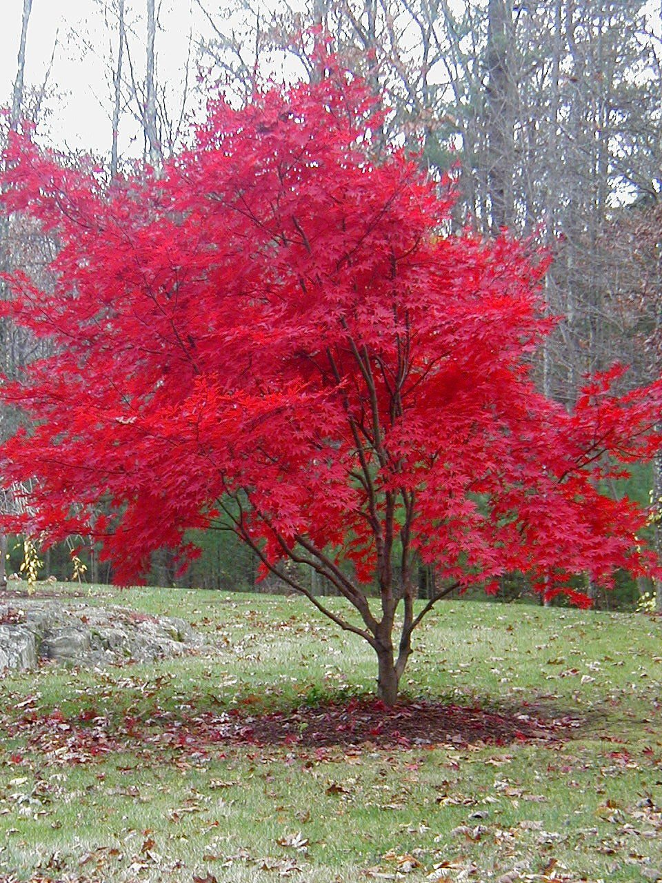 Ways to Combat Japanese Beetles in Your Yard |Japanese Maple Red Beetle