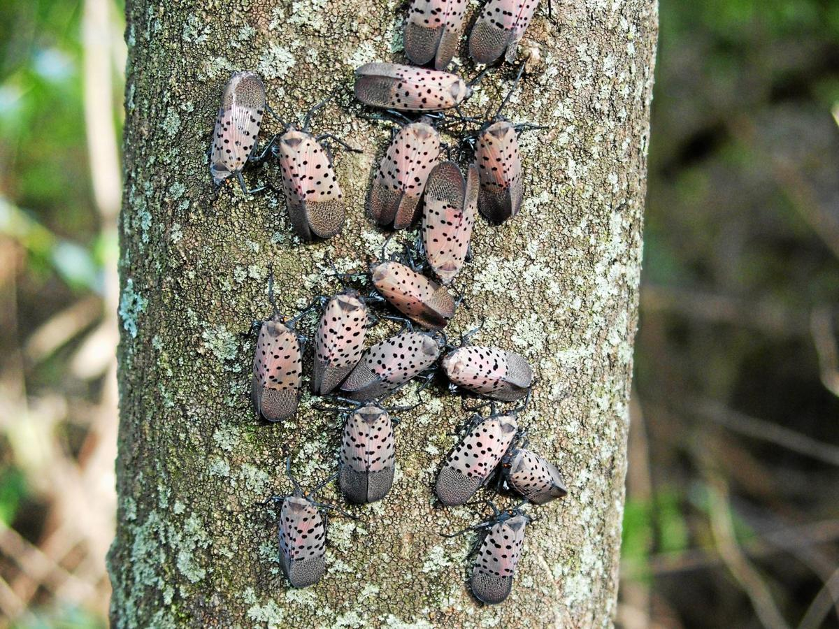 More areas in southeastern Pa. included named to  spotted lanternfly quarantine