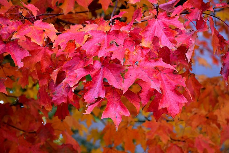 Autumn's best show: Fall foliage is a wonder, but it is a short run    Sports   timesleader.net