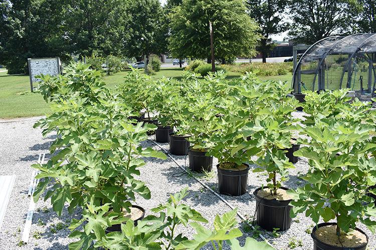 Growing figs in Kentucky