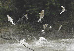 Agitated Asian carp