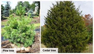 Pine and Cedar tree