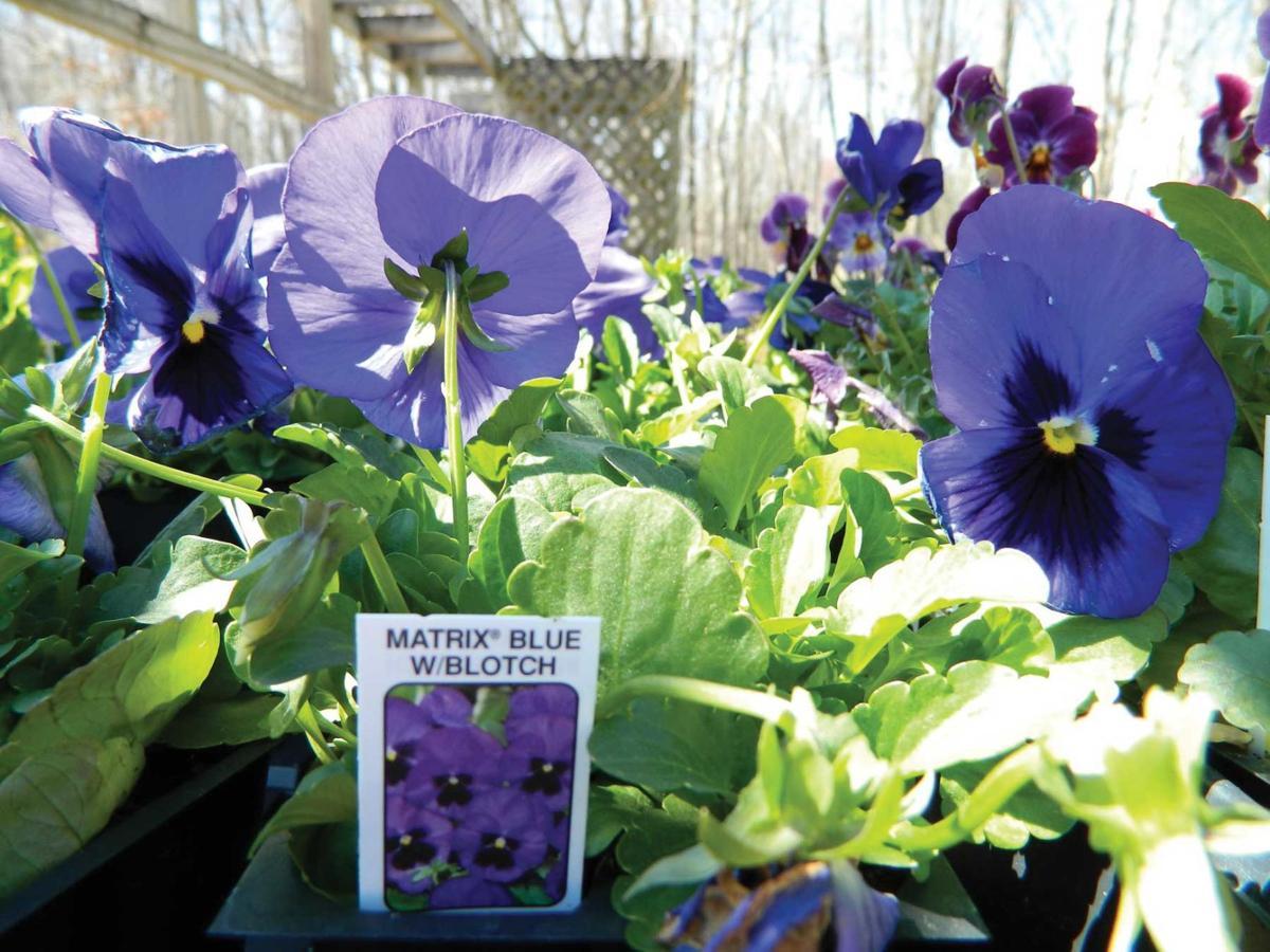 Matrix Blue pansies