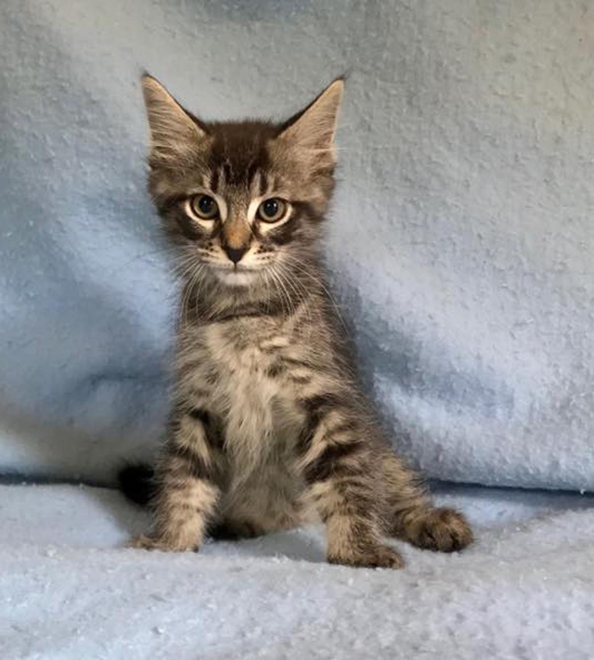 091119 Pets of the Week Kara the Kitten.jpg