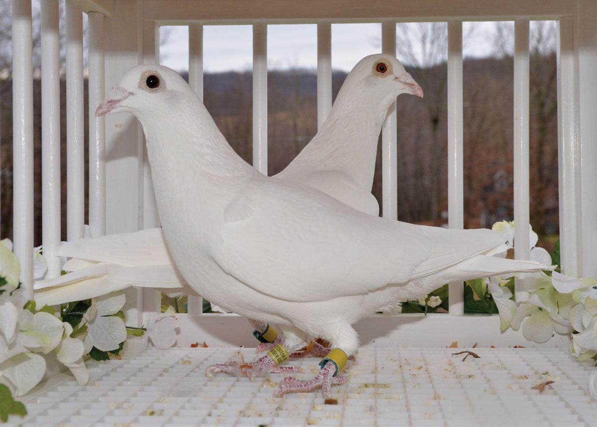 12 days of christmas many types of doves in the pigeon class news