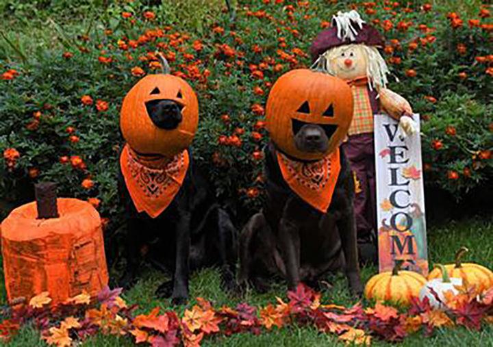 Pups pose as pumpkins