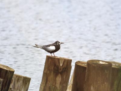 White wing tern at Nessmuk Lake