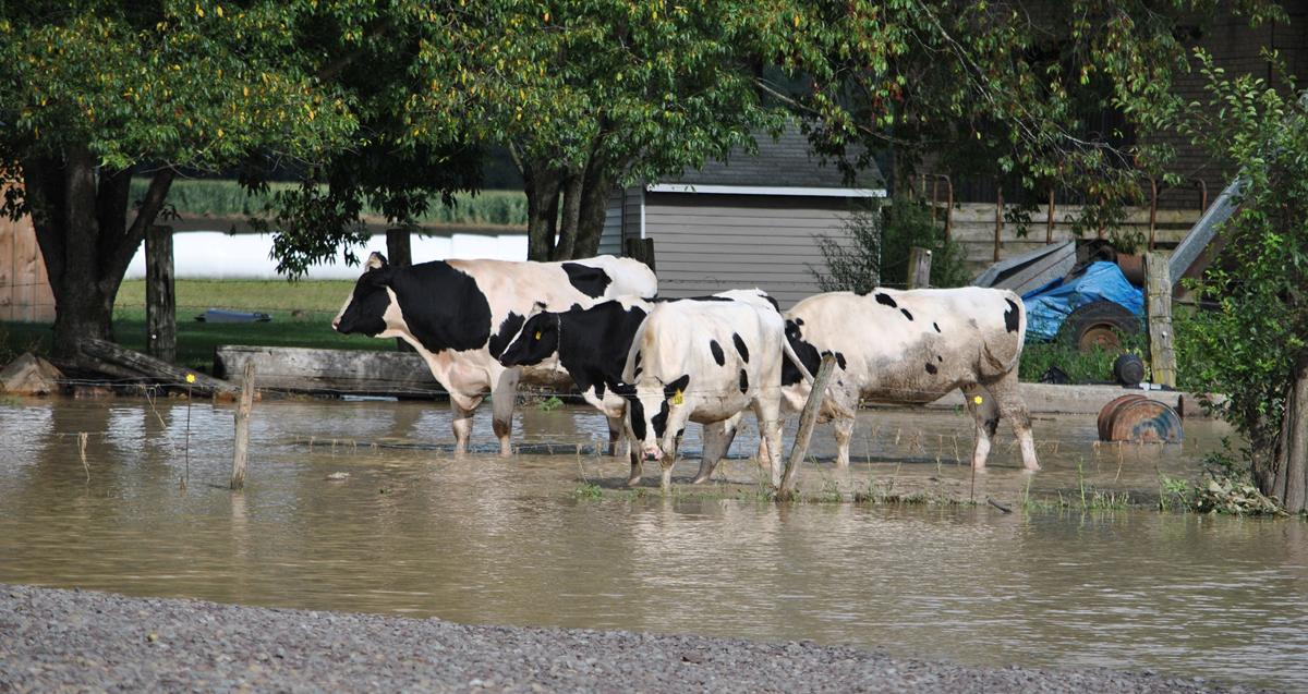 Knoxville flooding - cows