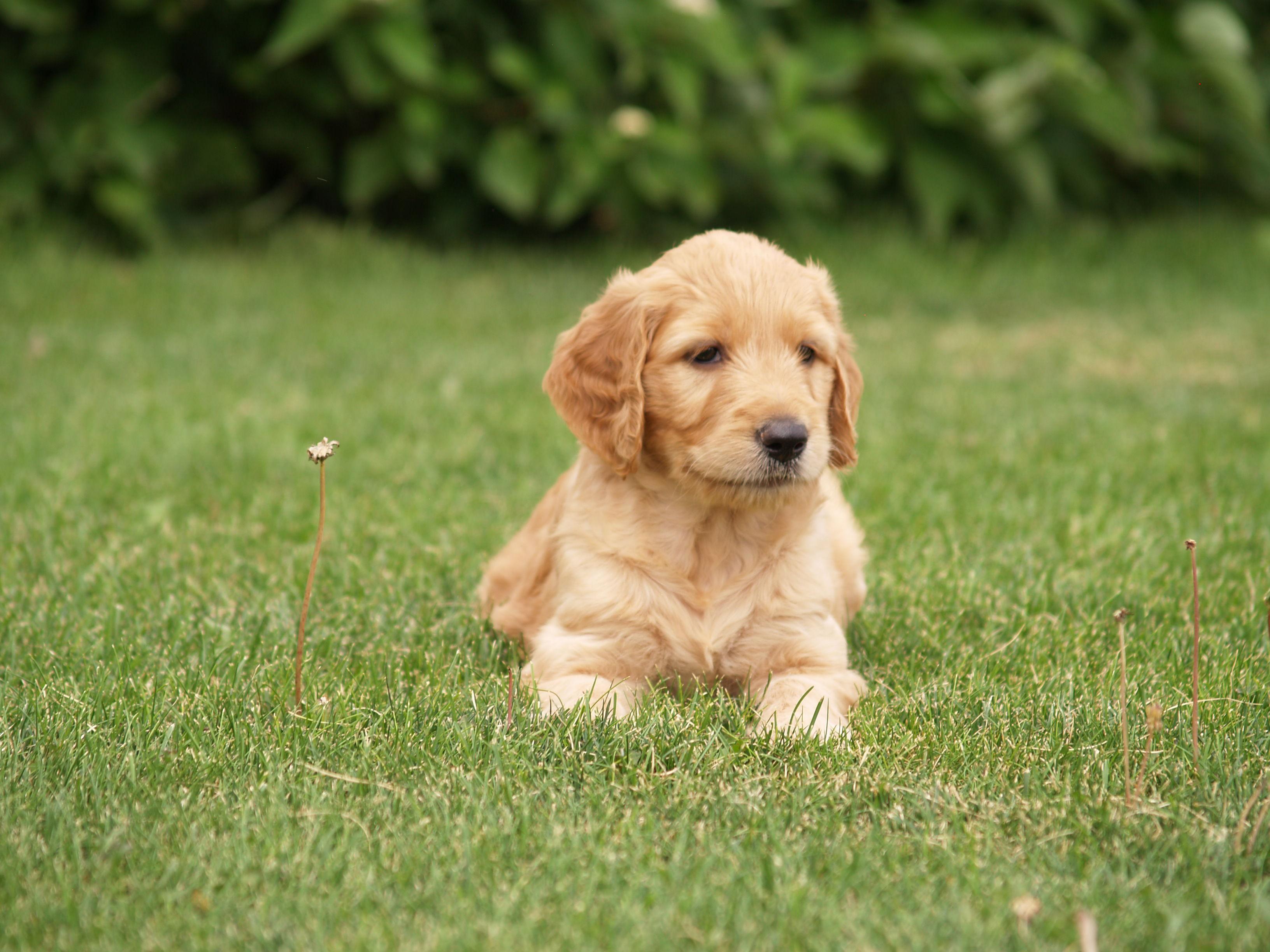 Goldendoodle image 1