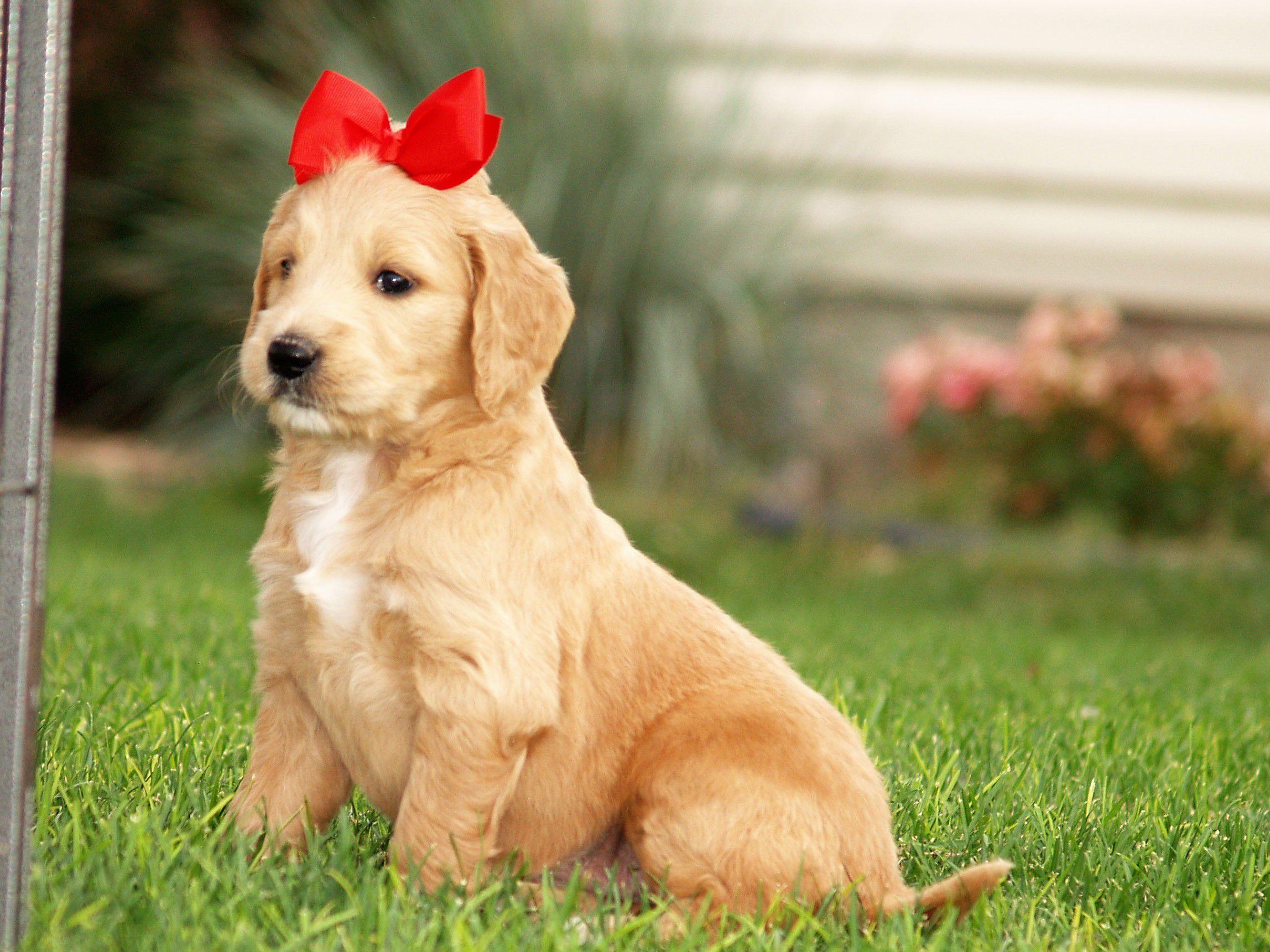 Goldendoodle image 2