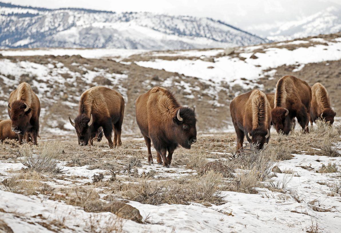Bison graze near Gardiner