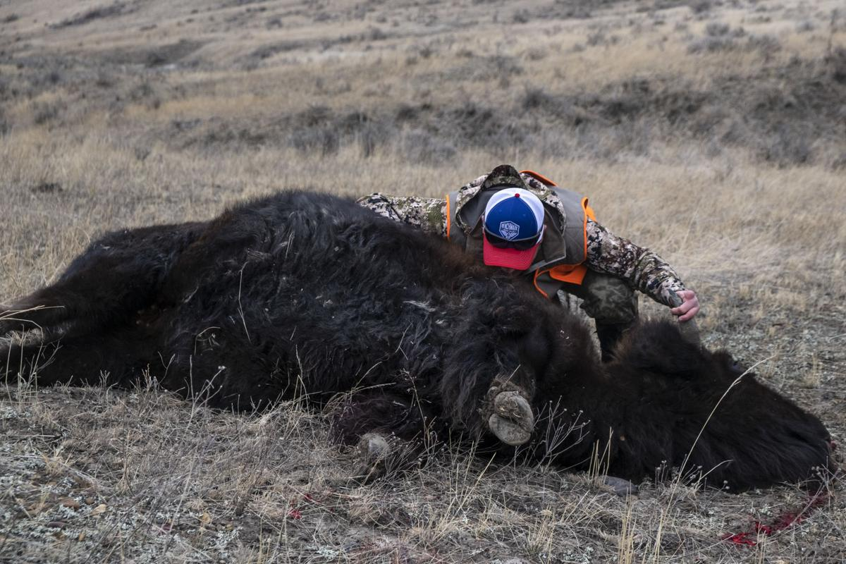 APR Bison Harvest