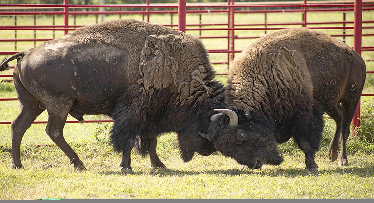2020-08-22 ne-bison p1