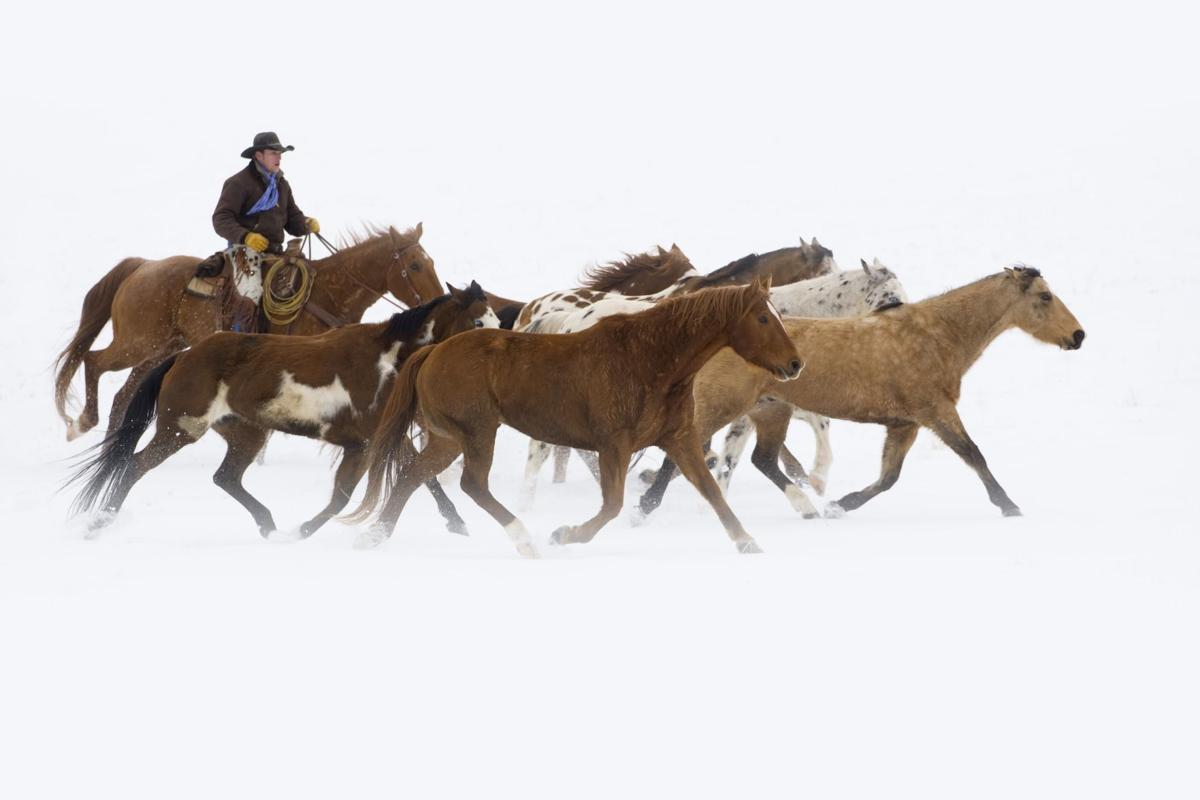 Cowboy herding horses on winter day. Shell, Wyoming. Model and property released # 238.