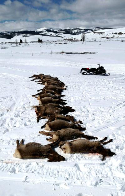 Wyoming elk kill stokes frustration about wolf protections