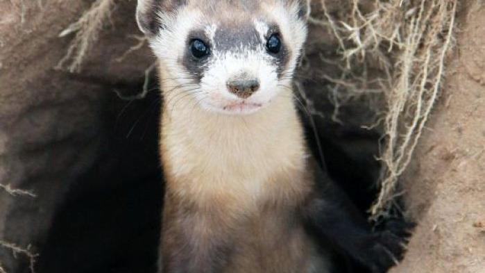 Predators Of Prairie Dogs Released In Colorado Open