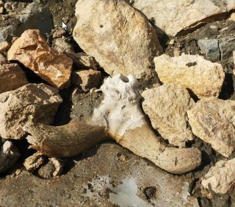 Ancient bighorns