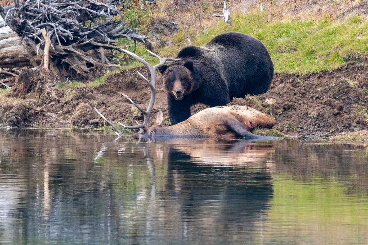 Bear elk kill