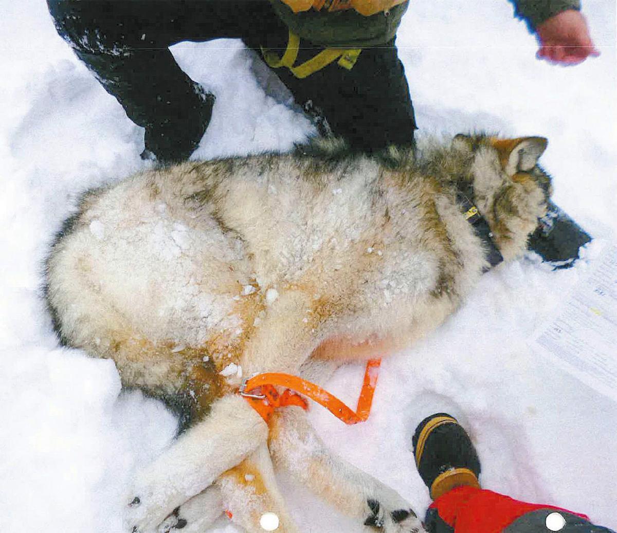 Wolf 1080M