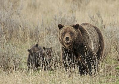 Grizzly sow and cubs (copy)