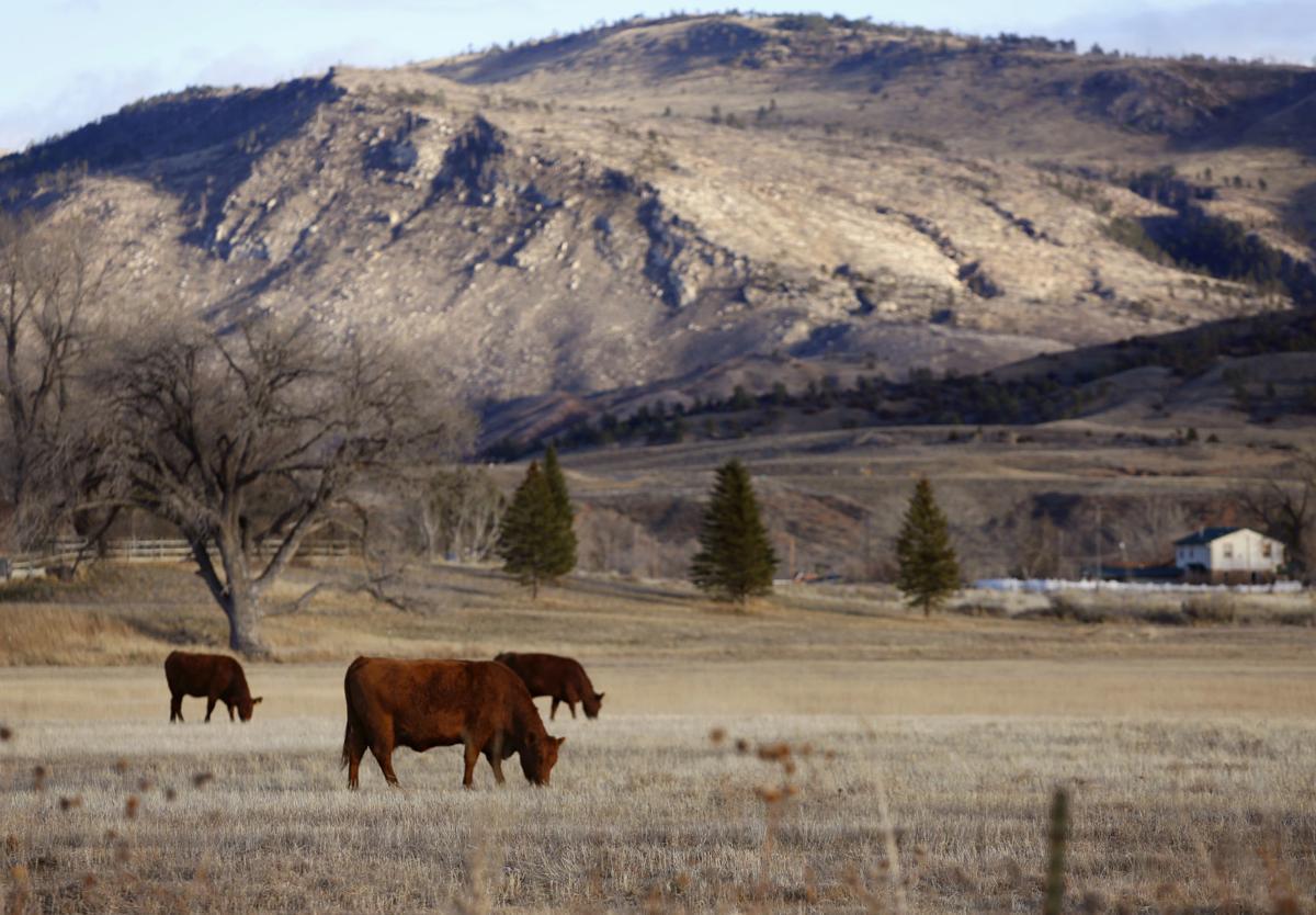 Cows (copy)