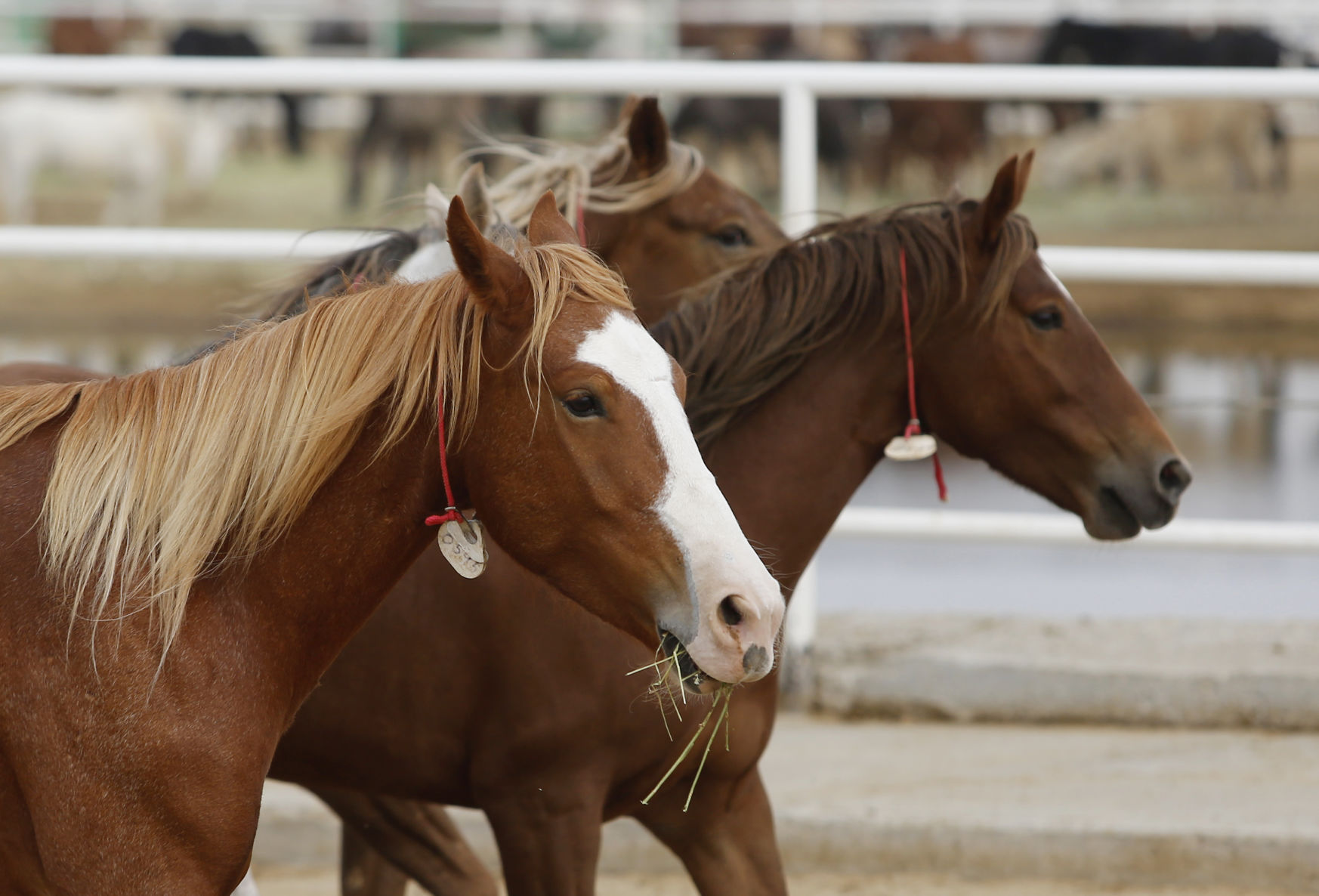 Cheney Votes Against Ban On Wild Horse Slaughter As Wyoming Herds Grow Wyoming News Trib Com