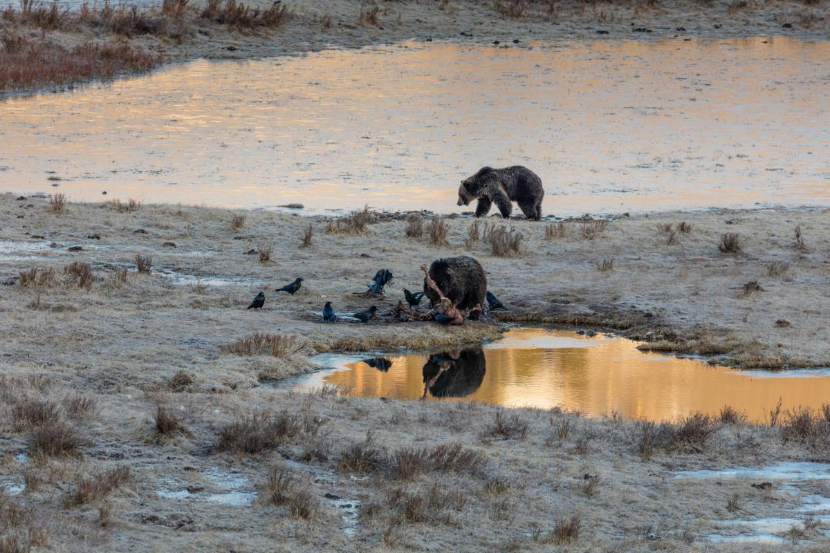 Grizzly bears take turns eating a bison carcass