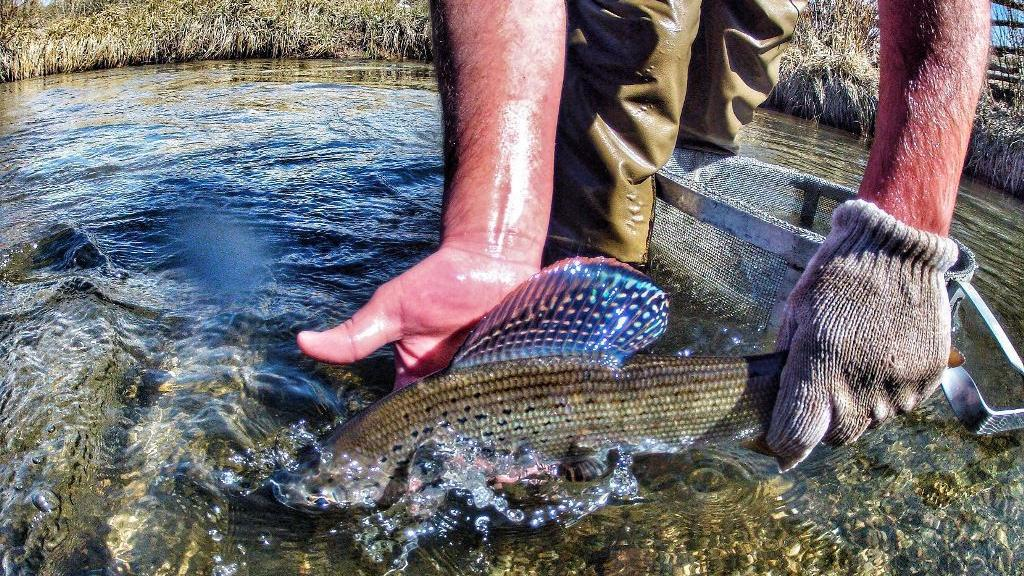Attempt to revive Arctic grayling population fails in southwestern Montana lake