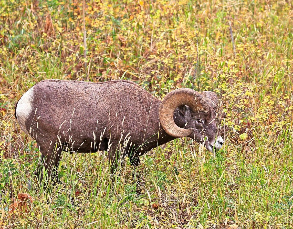 Bighorn Sheep (copy)