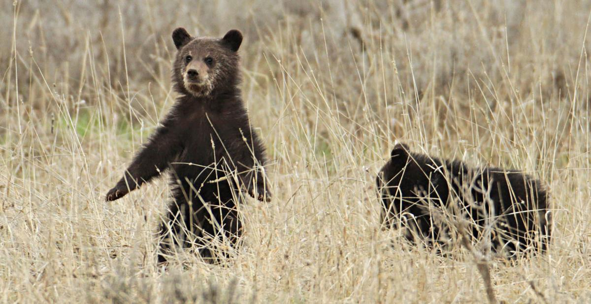 Grizzly cubs near Fishing Bridge