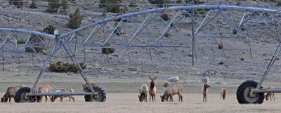 Elk on ag