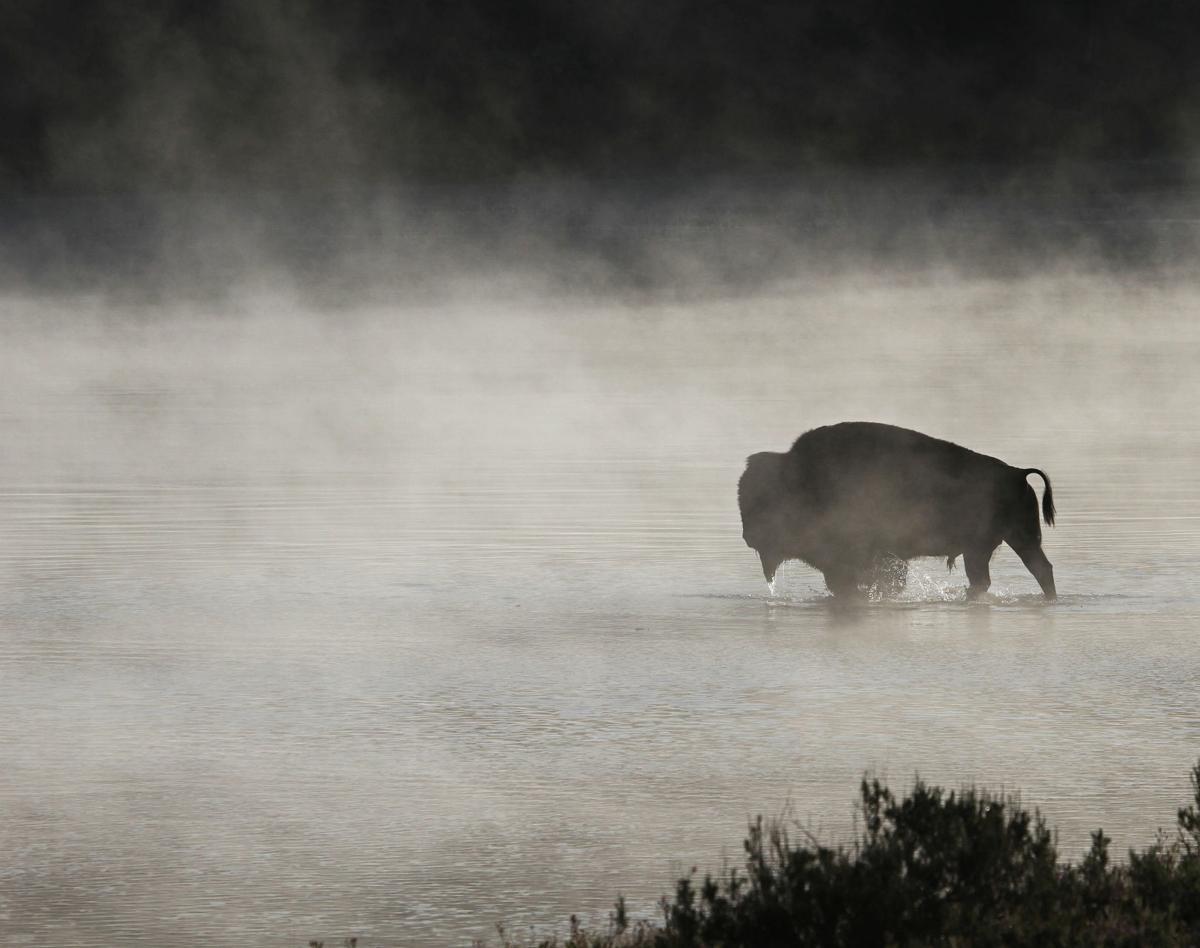 Yellowstone bison (copy)