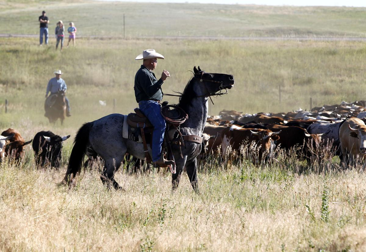 Cattle drive provides special view of Cheyenne Frontier Days