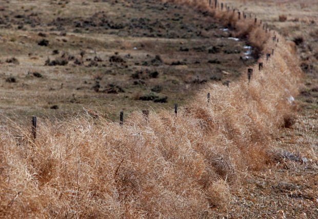 Answer Girl: Tumbleweed Damages Fences, Unlikely To