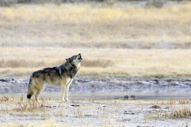 Feds Delist Wyoming Wolves