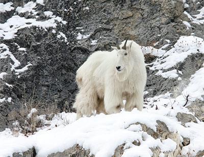 051119-osp-sheepvsgoats0003