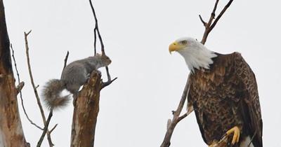 Epic squirrel vs. bald eagle showdown