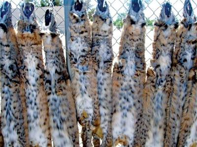 Bobcat fur coats raise trapping concern in West | Wyoming
