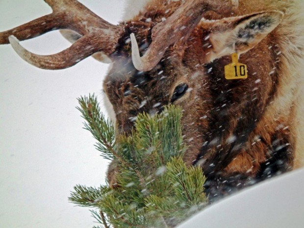 Elk No. 10