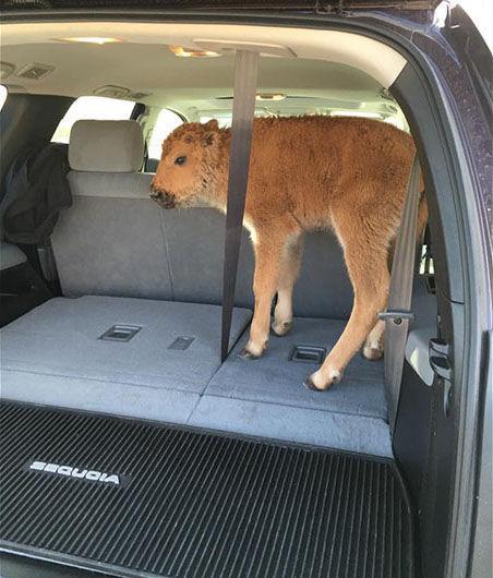 Bison in car