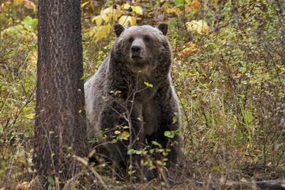 Grizzly Bears Montana